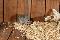 House Mouse Mus musculus adult, feeding on grain in shed, Midlands, England
