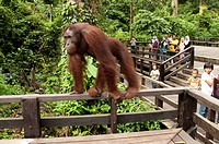 Bornean Orang_utan Pongo pygmaeus adult, on viewing platform watched by tourists, Sepilok Rehabilitation Centre, Sabah, Borneo, Malaysia