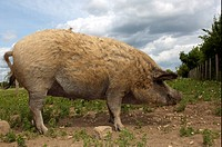 Domestic Pig, Mangalitza, freerange sow, feeding on concentrate nuts in field, England, july