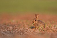 European Rabbit Oryctolagus cuniculus young, feeding on shoots in field, Norfolk, England, may