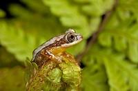 Pygmy Leaf_folding Frog Afrixalus brachycnemis adult, sitting on fern frond, Tanzania