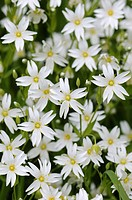 Greater Stitchwort Stellaria holostea close_up of flowers, growing on roadside, Norfolk, England, may