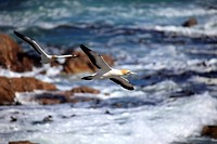 Cape Gannet,Morus capensis,Lambert´s Bay,South Africa,Africa,adult flying