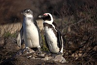 Jackass Penguin,Spheniscus demersus,Boulder,Simon´s Town,South Africa,Africa,adult and subadult
