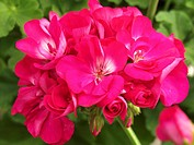 Geranium Pelargonium zonale Melocherry