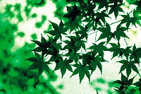 Silhouette of Maple Leaves in a Forest