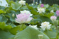 Lotus Flowers, Aichi Prefecture, Japan
