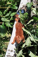 Young Red Squirrel  Sciurus vulgaris  Order: Rodentia Family: Sciuridae.
