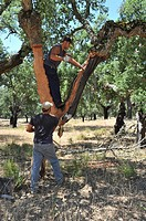 Men separating 'corchas' cork sheets from the tree: Cork extraction. Los Leones Estate. Puebla de Obando, Badajoz Extremadura. Spain