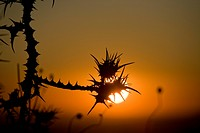 Photograph of the thorn bushes in the lower Galilee at dawn