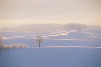 Trees and Fog in a Snowy Field at Sunrise. Biei, Hokkaido, Japan