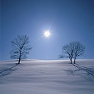 Two Bare Trees in a Snowy Field With the Sun Shining Above. Biei, Hokkaido, Japan