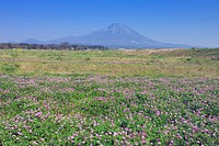 A Field of Chinese Milk Vetch Flowers, Daisen, Tottori Prefecture, Japan