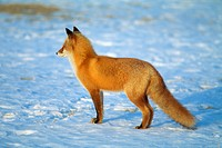 Red Fox in Snow, Hokkaido Prefecture, Japan