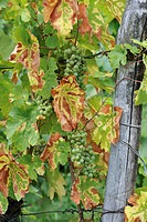 Grapes in vineyard at Dambach_la_Ville, Alsace, France