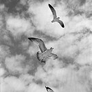 Flying birds against cloudy sky