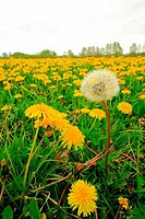 Spring Dandelions growing in field, Nova Scotia, Canada