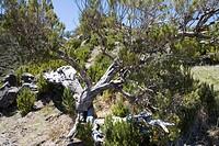 Tree on a trail to Pico Ruivo Summit, Pico Ruivo, Madeira, Portugal