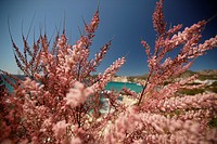 Bay of Paguera with pink bushes, Mallorca, Balearic Islands, Spain