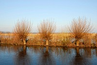 Pollard willow trees at lakeside, Reeuwijkse Plassen, South Holland, The Netherlands