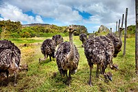 Ostriches on an Ostrich farm, Cape Town, Cape Peninsula, Western Cape, South Africa, Africa