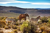 Two Zebras and an elephant, Safari, Aquila Lodge, Cape Town, Western Cape, South Afrika, Africa