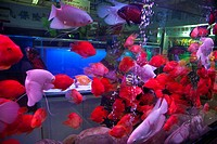 View at aquarium with colourful fishes at the bird and flower market at Kunming, Yunnan, People´s Republic of China, Asia