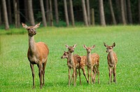 Red deers Cervus elaphus in a meadow