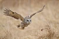 Barred Owl Strix varia hunting for prey.