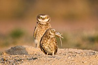Burrowing owl Athene cunicularia, pair at burrow, Pueblo West, Colorado. The female has a rodent that her mate just gave her