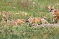 Swift fox Vulpes velox, male watches kits fight over thirteen_lined ground squirrel Spermophilus tridecemlineatus, near Pawnee Ntl. Grassland, Colorad...