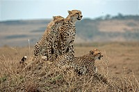 Three cheetahs, Acinonyx jubatus, Masai Mara National Reserve, Kenya, East Africa, Africa