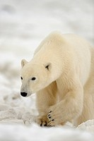 Polar bear Ursus maritimus. Seal River Heritage Lodge, Churchill, Manitoba, Canada.