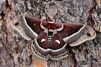 Cecropia moth Hyalophora cecropia.