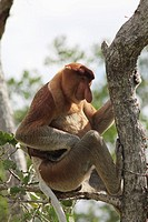 Male Proboscis Monkey, Bako National Park, Borneo