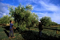 Italy,South,Puglia region, olive grove harvest