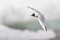 Bonaparte´s Gull Larus philadelphia flying in Churchill, Manitoba, Canada.