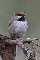 Boreal Chickadee Poecile hudsonicus perched on a branch in Manitoba, Canada.
