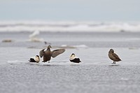 Common Eider Somateria mollissima perched on the ice in Churchill, Manitoba, Canada.