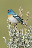 Lazuli Bunting Passerina amoena perched on a sagebrush in British Columbia, Canada.