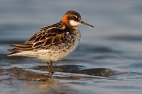 Red_necked Phalarope Phalaropus lobatus perched on a rock in Churchill, Manitoba, Canada.