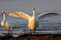 Whooper swans on a winterly lake, Cygnus cygnus, Goldenstedter Moor, Lower Saxony, Germany, Europe