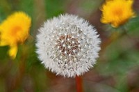 This macro stock photo is of a dandelion seed head with it's interesting texture Two yellow blooming dandelions are in the background, intentionally b...
