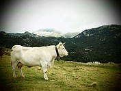 Cow, Navarre, Spain