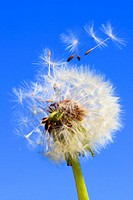 Dandelion, Taraxacum officiale, Loewenzahn, Pusteblume, Switzerland