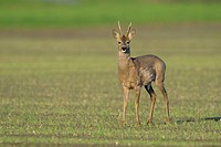 Roe deer (Capreolus capreolus) on field, Male, Spring, Germany