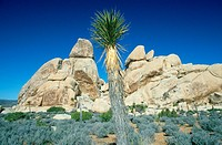 Desert blooming in spring, Joshua Tree National Park, California