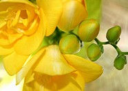 Yellow Freesia close_up