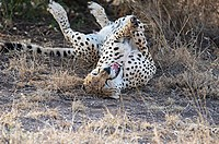 Male cheetah rolls on the ground and yawns as it wakes up. Kenya