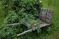 An old wheelbarrow supports fresh summer tomatoes.